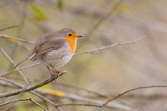 Robin - Rougegorge familier - Erithacus rubecula (jymandu) Tags: rougegorge erithacusrubecula