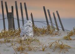 The Watcher (slsjourneys) Tags: owl beach snowyowl islandbeachstatepark