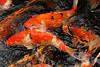 more trouble (murtica27) Tags: animal nishikigoi koi karpfen teich pond wasser water blue orange oranje fish fisch sony alpha nederland holland niederlande arcen kasteeltuinen fauna garden parc parks landscape