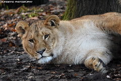 African lioness - Olmense Zoo (Mandenno photography) Tags: dierenpark dierentuin dieren animal animals african lion lions lioness lioncub olmense olmensezoo olmen belgie belgium bigcat big cat balen
