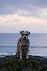 The Old Man And The Sea (Following Keaton) Tags: tofino beach dog nature ocean schnauzer