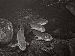 """Rainbow smelt monochrome • <a style=""""font-size:0.8em;"""" href=""""http://www.flickr.com/photos/142691167@N05/26349257479/"""" target=""""_blank"""">View on Flickr</a>"""