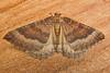 1745-P1120458 Mallow (Larentia clavaria) (ajmatthehiddenhouse) Tags: stmargaretsatcliffe kent uk 2016 garden moth geometridae larentiinae larentia clavaria mallow larentiaclavaria