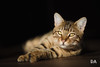 Laying in the Spotlight (Thousand Word Images by Dustin Abbott) Tags: manualfocus cat adobelightroomcc canon5d4 availablelight pet pembroke zeissmilvusaposonnart2135mm alienskinexposurex2 2017 bengal dustinabbottnet petawawa thousandwordimages canoneos5dmarkiv 5dmarkiv ontario adobephotoshopcc photography milvus2135 canada photodujour dustinabbott ca