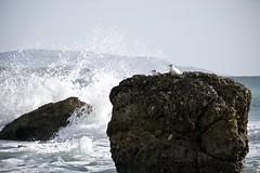 DSCF4401 (Martin P Perry) Tags: gull bay gulls seagull seagulls freshwater splash waves wave