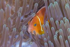 anemonefish1Oct21-17 (divindk) Tags: amphiprionperideraion family fiji fijianislands heteractismagnifica magnificentseaanemone southpacificocean underwater anemone anemonefish color damselfish diverdoug fish marine ocean pinkanemonefish reef sea symbiosis underwaterphotography