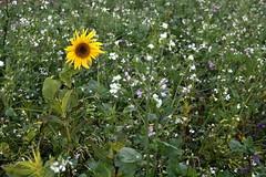 Allein unter Fremden (julia_HalleFotoFan) Tags: sonnenblume feld november brassicaceae ackerrettich raphanusraphanistrum