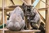 2017-11-15-10h08m12.BL7R2648 (A.J. Haverkamp) Tags: canonef100400mmf4556lisiiusmlens douli shae shindy amsterdam noordholland netherlands zoo dierentuin httpwwwartisnl artis thenetherlands gorilla sindy pobrotterdamthenetherlands dob03061985 pobamsterdamthenetherlands dob21012016 dob27022012 nl