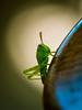 spotlight (AnteKante) Tags: grass miniatur mini grashüpfer silentworld tier insect weis käfer makro grün macro animal bug natur gras stillewelt grasshopper insekt green white