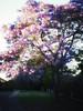 Early morning suburban magic (Jutta Sund) Tags: morning sunlight jacaranda spring suburb street sydney