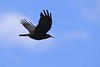 Chough (Pyrrhocorax pyrrhocorax) (Brian Carruthers-Dublin-Eire) Tags: chough passeriformes corvidae pyrrhocorax crave à bec rouge alpenkrähe chova piquirroja gracchio corallino alpenkraai cág cosdearg pyrrhocoraxpyrrhocorax craveàbecrouge chovapiquirroja gracchiocorallino cágcosdearg bird wildlife nature animalia animal