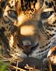 IB190085 (Boyce905) Tags: jaguar tequila