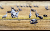 Jump-rake (ctofcsco) Tags: 11000 20x 2x 7d 7dclassic 7dmark1 7dmarki 800mm canon colorado didnotfire digital ef2x ef2xii ef400mmf28liiusm20x eos eos7d esplora explore explored extender f56 flashoff iso125 photo pic pretty renown shutterspeedpriorityae spot supertelephoto teleconverter telephoto unitedstates usa 2017 alamosa birds cranes geo:lat=3745997671 geo:lon=10614014486 geotagged image landscape migration montevista montevistanwr nationalwildliferefuge nature northamerica photograph picture sanluisvalley sandhillcrane sandhillcranefestival spring wildlife wwwmvcranefestorg zinzer
