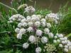 Starburst (Lexie's Mum) Tags: continuing30dayswild walking walks walkingthedog nature wildlife scenery floraandfauna white