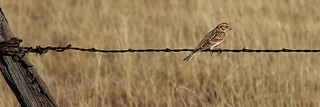 Lapland Longspur (Calcarius lapponicus) by Springer Lake, Colfax Co., New Mexico, USA.