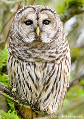 Barred Owl (Garebear400) Tags: barred owl