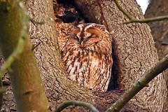 Wildlife-Sunny Waldkauz (Susanne Weber) Tags: holz vogel baum waldkauz tier animal eule wildlife outdoor