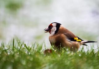 - Stieglitz-Distelfink-Goldfinch ♀