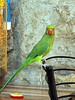 Parrot (markb120) Tags: bird fowl flyer flier birdie dicky dickey beak bill pecker rostrum neb nib pen feather plume blade style plumage feathering coverts coat dress head tail