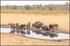 African Bush Elephant (John R Chandler) Tags: africanbushelephant africanelephant animal chamabondavlei elephant herd loxodontaafricana mammal matabelelandnorthprovince waterhole zambezinationalpark zimbabwe zw