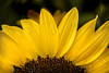 Partial Sunflower 3-0 F LR 8-26-17 J057 (sunspotimages) Tags: flowers flower sunflowers sunflower yellow yellowflower yellowflowers yellowsunflower yellowsunflowers nature