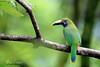 Jewel Of The Rainforest (Megan Lorenz) Tags: toucanet toucan bird avian rainforest cloudforest nature wildlife wild wildanimals travel 2017 costarica mlorenz meganlorenz bluethroatedtoucanet aulacorhynchuscaeruleogularis