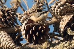 DSC_5901.jpg Pygmy Nuthatch, Schwan Lake (ldjaffe) Tags: pygmynuthatch schwanlake
