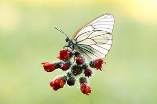 Jesus Christ Butterfly Superstar...