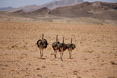 IMG_5211 (choco1363) Tags: afrique autruche safari
