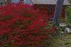 Burning Bush and a Red Garage (brucetopher) Tags: fall foliage autumn leaf leaves red burningbush burning bush fiery fire bright changeofseason changing season seasonal flora