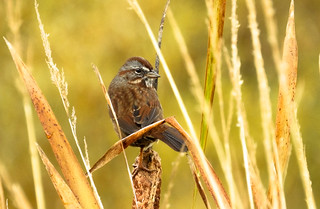 Song Sparrow atop a cattail