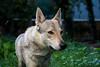 Vločenka - Comming (Crones) Tags: canon 6d canoneos6d canonef24105mmf4lisusm 24105mmf4lisusm 24105mm vločka csv čsv československývlčák canislupusfamiliaris vlčák vlcak dog wolfdog