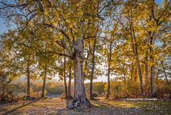 Quercus pyrenaica (Ignacio Ferre) Tags: árbol tree quercus roble bosque forest segovia comunidaddecastillayleón españa spain otoño autumn nikon oak quercuspirenaica roblerebollo rebollo sierradeguadarrama