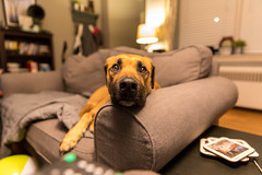 """Henry, aka """"Hank."""" (RailroadJack) Tags: dog mutt puppy canine rescue couch hairy nose canon 5dmarkiv 2470mm f28l pet"""