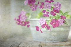 Dainty Pinks (jm atkinson) Tags: stilllife pink jillferryflypapertexturethankyou window wood joan m atkinson happy dainty delicate