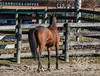 IMG_7215 (Tyler Ochs Photography) Tags: horses horse halter marengo bay mare ottb