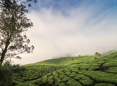 Too much of Tea (malhotraXtreme) Tags: nature landscape wide angle lens sony alpha 58 tamron rokinon india bangalore south munnar bandipur