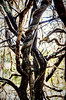 Week 44 - Landscape - A Tree (michellebain1) Tags: dogwood52 dogwoodweek44 tree twisting australia queensland outdoors branches entwined