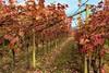 l'uva è stata raccolta (gianmaria.colognese) Tags: viti vigneto foglie autunno cielo
