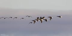 Brent Geese (Steve C Waddingham) Tags: stevenwaddinghamphotography bird british wild wildlife wildfowl coast nature flight