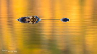Golden Gator
