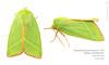 Green Silver-lines (Franziska Bauer) Tags: pseudoipsprasinana nolidae moth nachtfalter buchenkahneule kahneule greenmoth lepidoptera entomology insect metamorphose schmetterling