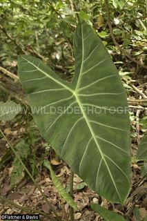 40835 The aroid (Alocasia longiloba) growing in coastal lowland rainforest, Vale Eco Centre, Teluk Batik, Perak, Malaysia.
