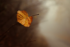 Autumn leaf (Hasan Yuzeir 📷) Tags: autumn leaf color focus macro hasanyuzeir canon 1300d foggy