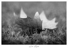 LÁGRIMA DE OTOÑO (Lola Tejada) Tags: blackwhite bn blanconegro hojas otoño imagen image flickr picture