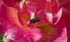 "The Visitor (jimgspokane) Tags: roses flowers insects manitopark duncangarden rosehill spokanewashingtonstate ""nikonflickraward"" otw naturewatcher"