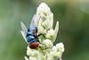 The Mango pollinator (arian.suresh) Tags: 750d2017img4663x ariansuresh saravanastreettnagar chennai tamilnadu india nature macro mango pollinator pollinationmetallic blue fly bluebottlefly latrinefly animalia arthropoda hexapoda insecta pterygota neoptera panorpida diptera brachycera muscomorpha schizophora calyptratae oestroidea chrysomyinae chrysomyini chrysomya chrysomyamegacephala