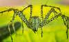 Green Lynx Spider (FotoGrazio) Tags: fridaythe13th greenlynxspider peucetiaviridans waynegrazio waynesgrazio arachnid arachnids babies birth circleoflife closeup cluster composition creepy cycleoflife fotograzio green hatchlings helpfulspiders macro mothernature nature newborn pestcontrol predator scary spider tinyspiders wildlife supershot