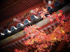 Maple leaves (yukky89_yamashita) Tags: 京都 大山崎町 宝積寺 三重塔 秀吉一夜之塔 kyoto oyamazaki town pagoda autumn leaves maple