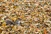 Lost in a sea of leaves. (WilliamND4) Tags: autumn fall squirrel nikon d810
